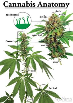 Marijuana sold on the street usually consists of flowers; government-supplied weed includes the stems and leaves, as well.