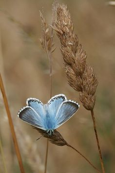 <3 <3 <3  Butterfly  -  Blue on Brown