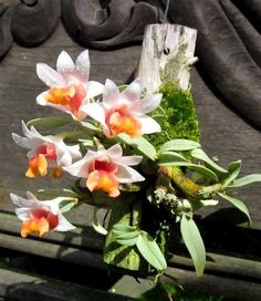 """Dendrobium bellatulum has flowers about 1 1/2"""", large for the size of the plant."""