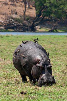 Hippo - Kasane, Botswana