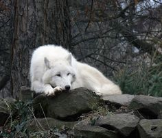 Arctic Wolf Waiting - Spirit Guide