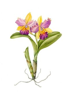 There are so many hybrids and it is important not only in the orchid growing world, but the botanical art world to know the Latin names of the plants. Description from development.botanicalartpainting.com. I searched for this on bing.com/images
