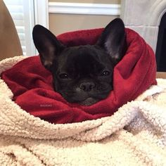 """""""It's too Cold"""", freezing French Bulldog Puppy"""