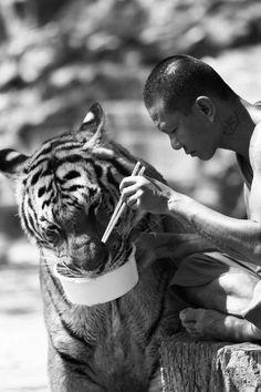 Big Cats - Tiger
