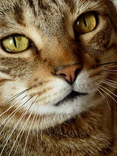 Cat with golden eyes