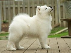White and Fluffy Samoyed