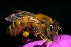 Honeybee in a Wallflower VI by dalantech.deviantart.com on @DeviantArt