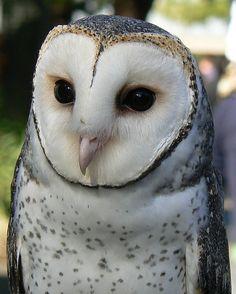 Masked Owl by ianmichaelthomas, via Flickr