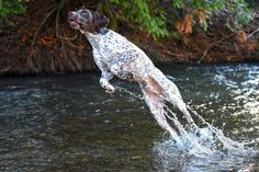 What a leap! Waterspout by Leonard Black, on qualitydogs.tumblr.com. #dogs #gsh