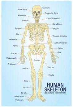 "Human Skeleton Anatomy Anatomical Chart Poster Print Poster (for my ""radiology wall""! Human Skeleton Anatomy, Human Body Anatomy, Human Anatomy And Physiology, Human Anatomy Chart, Medical Anatomy, Nursing Notes, Nursing Programs, Triage Nursing, Medical Technology"
