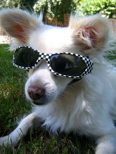 dog sunglasses...   my granddog would look so cute in these