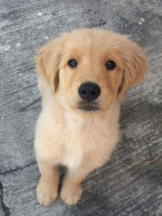 Everything About The Intelligent Golden Retriever Puppy Grooming Cute Baby Dogs, Cute Little Puppies, Cute Dogs And Puppies, Doggies, Cute Funny Animals, Cute Baby Animals, Animals And Pets, Beautiful Dogs, Animals Beautiful