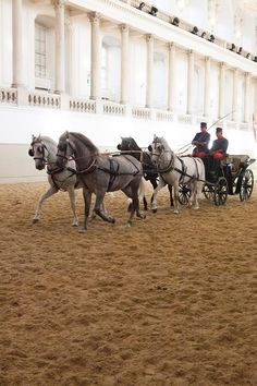 The Spanish Riding School Mares in a Dressage Driving display during Piber Meets Vienna