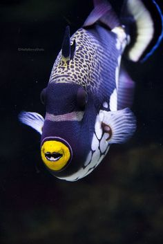 He's so cute - a blue and white striped fish, with cute little yellow mouth.: