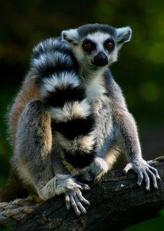 Animal Looks Like Lemur Wildlife Photography, Animal Photography, Baby Animals, Cute Animals, Magnificent Beasts, Wild Creatures, Mundo Animal, Bird Pictures, Animals Beautiful
