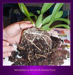 Rinvasare orchidee