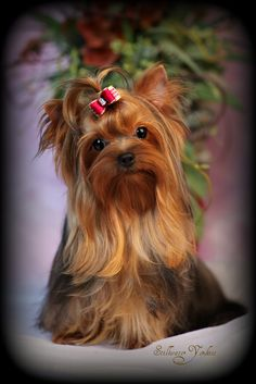 I've never seen a Yorky that wasn't adorable!! I might have to get one even though I usually don't like small dogs!