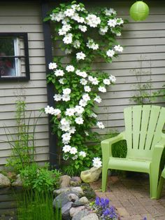 """'Guernsey Cream' is an early blooming stunner, with large, gardenia-like blooms that are slightly fragrant. (will grow on a north wall according to """"The Ultimate Book of Gardening"""""""