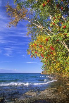 Mountain Ash trees show off the bright red fruits so abundant in the autumn season, Lake Superior shore, Miner's Beach, Pictured Rocks National Lakeshore, MI