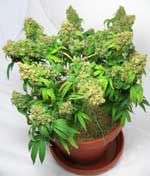 Marijuana Growth Control & Training For Yield