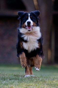 Bernese Mountain Dog. Even with large paws as pups, adults reach the height of an Australian Cattle Herding Dog.