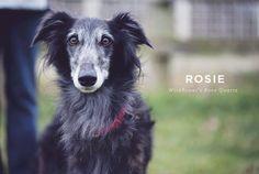 Rosie the Silken Windhound #silkenwindhound