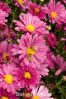 """Daisy Garden Mum, 15-24"""", Garden mums are characterized by their mounded growth habits, sturdy and typically flexible stems, durable foliage and flowers.  They have a very high bud count and excellent flowering uniformity.  Blooms in fall.  Variety of colors."""
