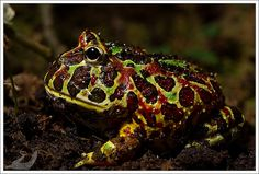 Ceratophrys ornata | Flickr - Photo Sharing!