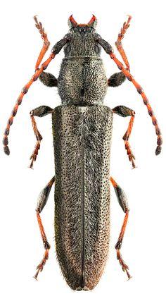 Deilus fugax  #Beetles