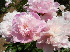 Peonies 'Mons. Paillet' (Guerin, 1857) - very old, fragrant heirloom peony variety. In bloom in May at Brooks Gardens.