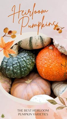 Looking for some heirloom pumpkins to spruce up your porch this fall? Or maybe to add to a gourmet autumn dish? Read on to discover some of the best heirloom pumpkins available! Cheese Pumpkin, Pumpkin Bread, Pumpkin Puree, Planting Pumpkin Seeds, Pumpkin Varieties, Pumpkin Seed Recipes, Cinderella Pumpkin, Black Pumpkin, Sugar Pie
