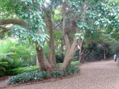 This tree is 100 years old - Kirstenbosch Botanical Gardens, Cape Town