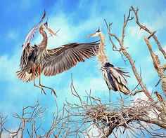 Great Blue Heron (Ardea herodias) brings in a small twig to add to the nest that is being built, while its mate waits