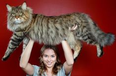 Rupert, a Maine Coon, is one of the largest cats in Australia.