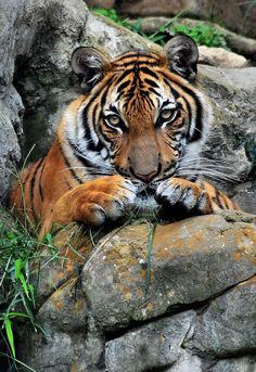 ~~Tiger, Tiger Burning Bright ~ Bengal Tiger by Dennis Stewart~~