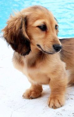 Doxie puppy at pool ✿⊱╮ Looks like Summer as a baby. Dachshund Puppies, Weenie Dogs, Dachshund Love, Cute Puppies, Cute Dogs, Dogs And Puppies, Chihuahua, Animals Beautiful, Cute Animals