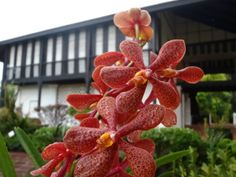 Burkill Hall and Orchid in Singapore #orchid #orchidgarden #singapore