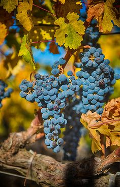 Late Harvest Grapes by Paul Coffin, via Flickr