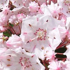 2 m x 2 m - fleurs mai juin - Kalmia+latifolia+-+Laurier+des+montagnes+rose+pâle