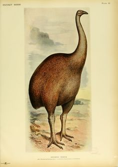 The giant moa of New Zealand which apparently became extinct about 5 centuries ago stood, according to reproductions of their skeletons, as much as 12 feet tall.  They were flightless birds built for running. The giant moa belonged to a large family that ranged in size from the 12-foot giants down to small species about the size of turkeys.