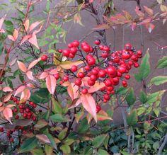 Nandina/Heavenly bamboo (NOT a bamboo)--great in ABQ; difficult when you start getting above 6,000 ft.