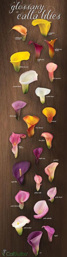 A Glossary of Calla Lilies - Calla Lily Colors Infograph! | CalBulbs.com