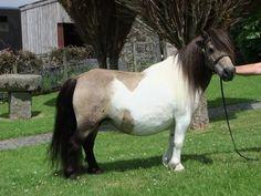 Stepsford Blueberry Muffin - Shetland mare (pattern also skewed)