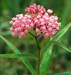 Marsh Milkweed. Sweetly scented clusters of rose-pink flowers bloom in summer. Butterflies find the faint vanilla fragrance irresistible and monarch larvae feed on the foliage. Grows naturally in swamps and wet meadows but also grows well in the garden. Grows in full sun and moist soil. Height: 36-48 inches. Spread 34-36 inches. Deep pink/rose color. Butterfly nectar, hummingbirds. Perennial.