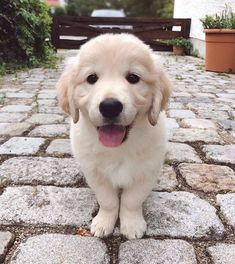 Baby Pugs, Baby Puppies, Small Cute Puppies, Dogs Golden Retriever, Golden Retrievers, Retriever Puppies, Labrador Retriever, Pet Dogs, Pets