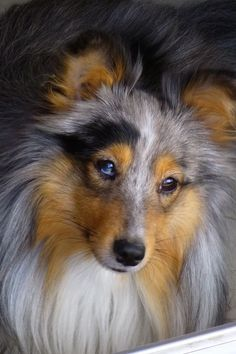 Blue Merle with one blue eye, one brown. I can almost imagine her fluttering her lashes.