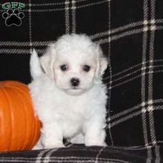 Bich-poo Puppy in Manheim, PA Free Crochet Rose Pattern, Greenfield Puppies, Bichon Frise, Puppies For Sale, Poodle, Dogs, Animals, Animales, Animaux