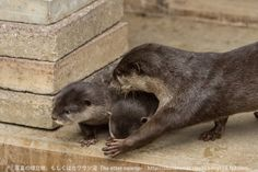 Mother otter keeps her pups away from mischief and carries them back to the den - December 31, 2013 - More photos at today's Daily Otter post: http://dailyotter.org/2013/12/31/mother-otter-keeps-her-pups-away-from-mischief-and-carries-them-back-to-the-den/ !