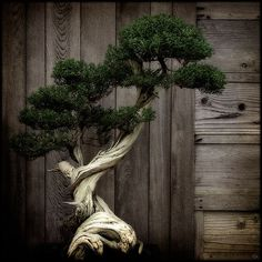 Slow Sculpture (by Lydia Marano). Japanese Bonsai