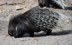 https://flic.kr/p/XBFurL | Indian Crested Porcupine (Hystrix indica) | The Indian Crested Porcupine (Hystrix indica) is a large rodent and inhabited a brode range of biotopes in Southwest and Central Asia (Mammalia: Rodentia: Hystricidae).  Heidelberg Zoological Garden